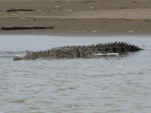Crocodile in Tarcoles River