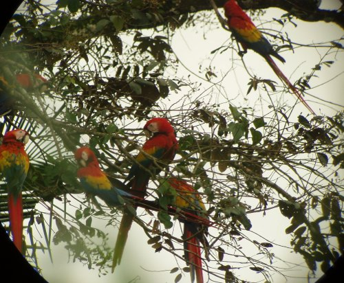 Scarlet Macaws in a tree at Carara National Park
