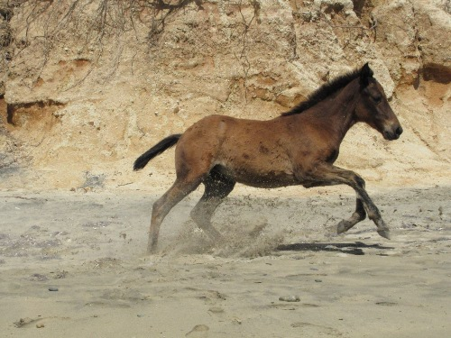 Foal playing on Playa Negra